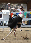 Karla Burrell rides in an ostrich race at the International Camel Races in Virginia City, Nev., on Friday, Sept. 9, 2011. .Photo by Cathleen Allison