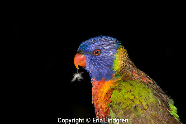 Rainbow Lorikeet with pin feather. //  Rainbow Lorikeet - Psittacidae: Trichoglossus haematodus. Length to 30cm; wingspan to 45cm; weight to 150g; Found in coastal northern and eastern Australia from the Kimberley Region in northern Western Australia (Red-collared Lorikeet) to eastern South Australia. Occurs in forests, woodlands, heath, and rural and urban areas. Aviary-escapees are established in many towns and cities in Australia. Widespread with many sub-species - often with a different name - from eastern Indonesia through New Guinea east to Vanuatu and New Caledonia, north to the Philippine Islands. / Feathers of a wet Rainbow Lorikeet change colour because of the differences in colour types - either pigment-related or structural-related. In this lorikeet the colour of predominantly green feathers, such as on the wings and back, comes mainly from micro-structure on the feather barbules that interfere with light. When molecules of water in the rain fill in the micro-structures of the barbules  the green colour appears to be brown. Pigment-based colours are not affected, unless they have both pigmented and structural attributes. When dry this bird will return to its normal gaudy plumage.  This bird is preening its body feathers one by one to restore their integrity after an autumn shower. IUCN Status: Least Concern.  //Eric Lindgren//