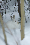 Snowshoe hare (Lepus americanus) in snow, winter pelage, subalpine forest, Rocky Mountain National Park near Bear Lake, March, morning, Colorado, USA.