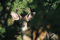 A black-tailed deer looks for danger through vegitation.