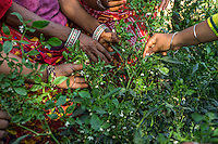 A group of women who are a part of Technoserve's kitchen garden program tend to chilli plants in a kitchen garden in Bamanwali village, Bikaner, Rajasthan, India on October 24th, 2016. Non-profit organisation Technoserve works with guar farmer's wives in Bikaner, providing technical support and training for edible gardening, to improve the nutritional quality of their food and relieve financial stress on farming communities. Photograph by Suzanne Lee for Technoserve
