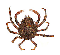 Common Spider Crab - Maia squinado