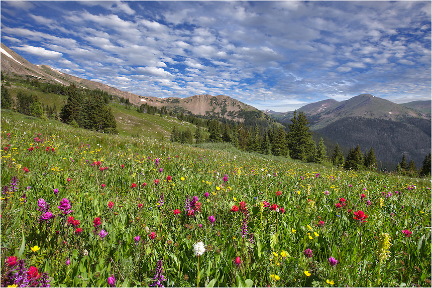 Colorado Wildflowers bloom each summer, usually peaking in July and August. Butler Gulch, near the town of Empire on Highway 40, is no exception. The trail begins near Henderson Mine and continues up ~ 2.5 miles over 1500+ vertical feet. The effort is rewarded with ample opportunity to capture Colorado Wildflower images. These wildflower pictures are available at nearly every turn in the path. This image, taken in mid July, is just an example of what you may see.