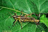 """OR01-032a  Grasshopper - short horned or """"true"""" grasshopper, two-striped grasshopper - Melanoplus bioittatus"""