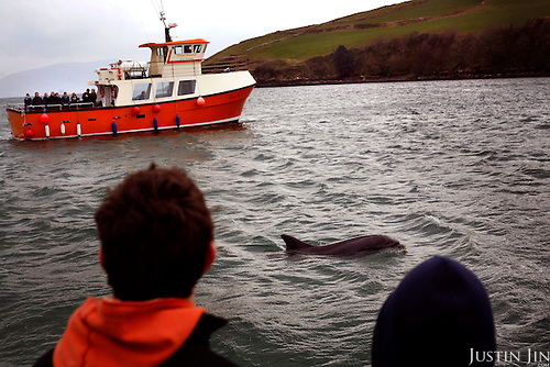 Boats carrying tourists track Fungi in Dingle harbour, County Kerry, on the west coast of Ireland..In 1984, the lone dolphin was observed escorting the fishing boats. The fishermen named him Fungi. Within months, he had become such a fixture that local officials declared him a permanent resident. .For more than 20 years, Fungi has stayed in the harbour and befriending humans, becoming one of Ireland's top attractions..Every summer, Dingle town?s 3,000 inhabitants are overrun by tourists, who have come to see Fungi on boat trips..Fungi, a male bottlenose, is around 30 years old. He weighs about 250 kilos and is about four metres in length.