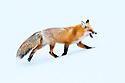Adult red fox (Vulpes vulpes) running through snow. Hayden Valley, Yellowstone, USA. February