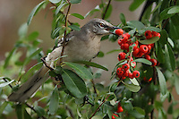 Northern Mockingbirds eat mainly insects in summer but switch to eating mostly fruit in fall and winter. Among their animal prey are beetles, earthworms, moths, butterflies, ants, bees, wasps, grasshoppers, and sometimes small lizards. They eat a wide variety of berries, including from ornamental bushes, as well as fruits from multiflora rose.