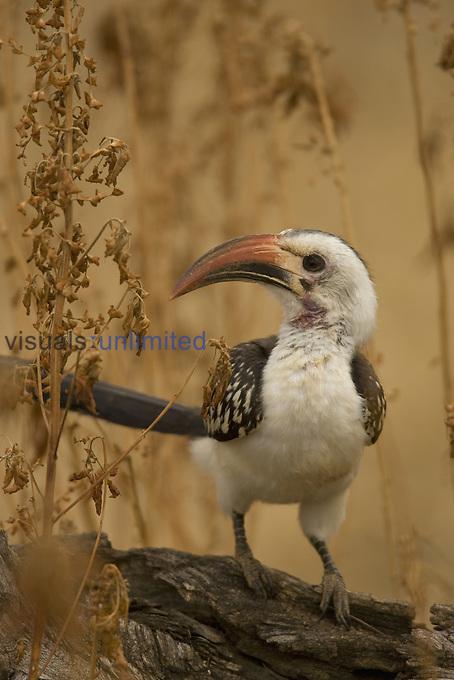 Red-billed Hornbill ,Tockus erythrorhynchus,, East Africa.