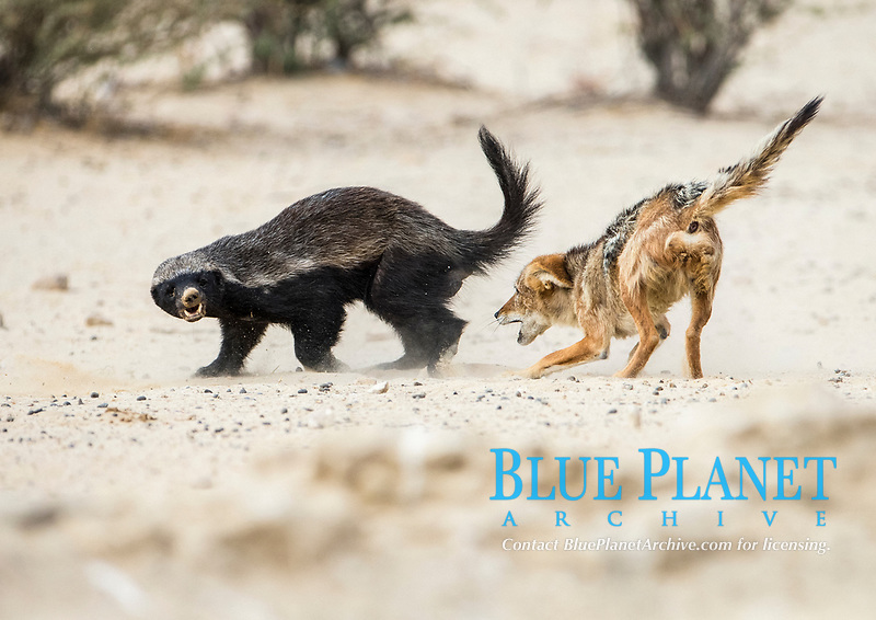 honey badger, Mellivora capensis, and black-backed jackal, Canis mesomelas, fighting, Kagalagadi National Park, South Africa, Africa