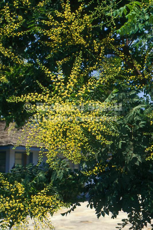 10613-CB Goldenrain Tree, Koelreuteria paniculata, flower panicles, foliage, at Visalia, CA