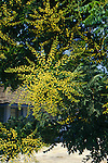10613-CB Goldenrain Tree, Koelreuteria paniculata, flower panicles, foliage, at Visalia, CA