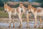 Small group of Indian wild asses (Equus hemionus khur) in clay pan, dry season<br /> The Indian wild ass's range once extended from western India, through Sind and Baluchistan, Afghanistan, and south-eastern Iran. Today, its last refuge lies in the little Rann of Kutch and its surrounding areas of the Greater Rann of Kutch in the Gujarat province.