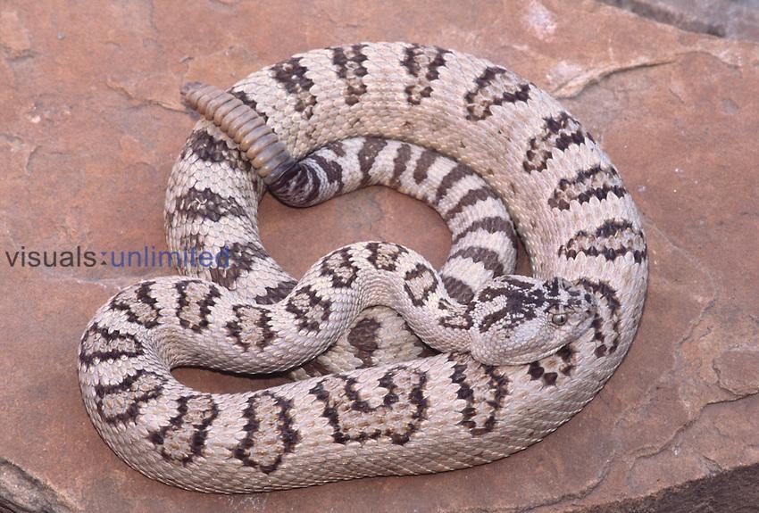 Great Basin Rattlesnake (Crotalus lutosus or subspecies Crotalus viridis lutosus)