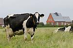 GERMANY grazing milk cow at Pellworm Northsea island / DEUTSCHLAND , <br /> grasende Milchkuh auf Nordseeinsel Pellworm - B&uuml;rgerenergie, Buergerenergie