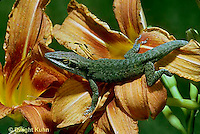 1R06-090a Anole lizard on lily -  Anolis carolinensis