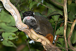 Emperor Tamarin, Saguinus imperator, climbing on Monkey Ladder Vine, Bauhinia guianensis, Manu, Peru, Amazon Rainforest, jungle, new world monkey, diurnal and arboreal, running and jumping quickly through the trees, omnivore, vunerable. .South America....