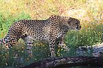 cheetah walking through wildflowers