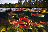 RY0177-D. Sockeye Salmon (Oncorhynchus nerka) undergo an epic migration from the open sea to their spawning grounds hundreds of miles upriver. Adams River, British Columbia, Canada.<br /> Photo Copyright &copy; Brandon Cole. All rights reserved worldwide.  www.brandoncole.com