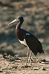 Abdim's Stork, South Luangwa National Park