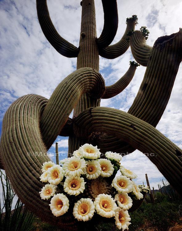 """""""Saguaro Cactus Blooms, Saguaro N.P."""""""