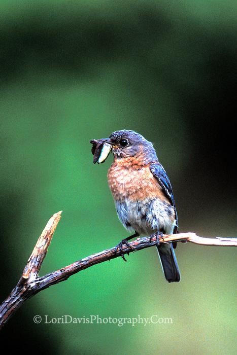 Bluebird with Worm   #B4