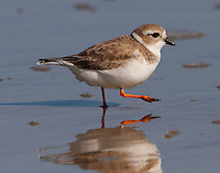 Piping plover in winter plumage