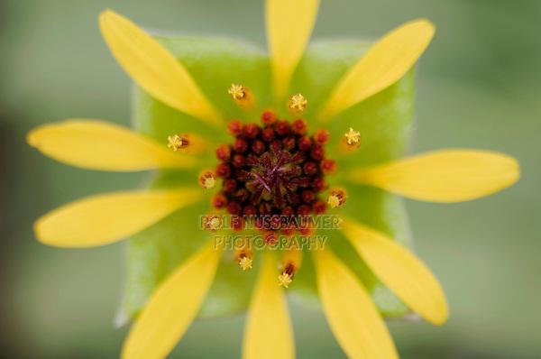 Squarebud Daisy, Tetragonotheca texana, blossom, Uvalde County, Hill Country, Texas, USA