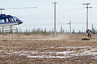 01874-13008 Helicopter lifting a Polar Bear (Ursus maritimus) from the Polar Bear Holding Facility, Churchill, MB