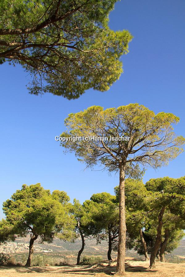 Iarael, Upper Galilee, Stone Pine (Pinus Pinea) in Yirka