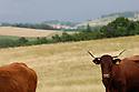 06/07/06 - COMTE BILLOMOISE - PUY DE DOME - FRANCE - Troupeau allaitant de vaches Salers - Photo Jerome CHABANNE