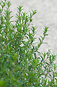 Winter savory (Satureja montana,), late May.