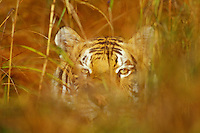 Bengal Tiger (Panthera tigris) hiding in grass.