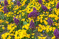 Bulbs and perennials in bloom together: yellow violets and purple hyacinthus