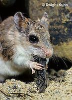 MU32-008z  Northern Grasshopper Mouse eating grasshopper in Desert habitat - Oncychomys leucogaster