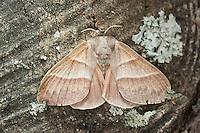 Brombeerspinner, Brombeer-Spinner, Weibchen, Macrothylacia rubi, fox moth, female, Glucken, Lasiocampidae
