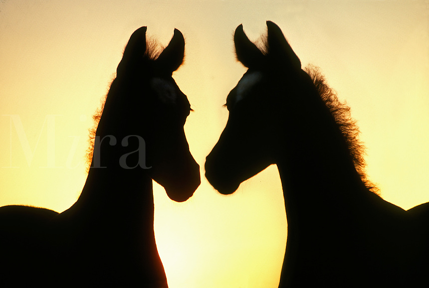 Arabian horse foals nose to nose, sillhouetted by rising sun.