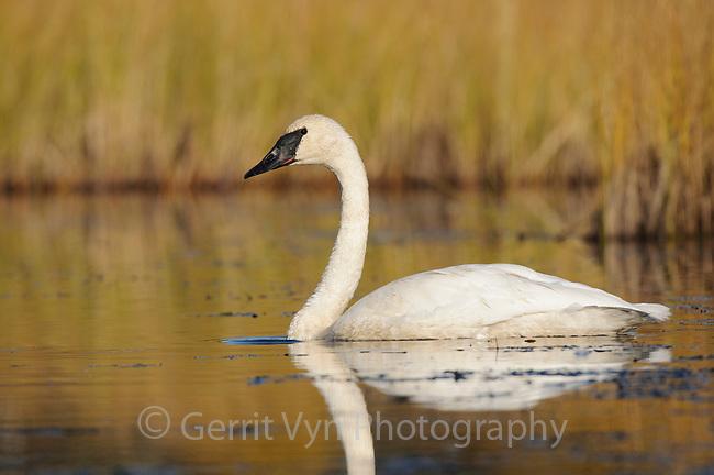 Trumpeter Swan (Cygnus buccinator). Central Alaska. September.