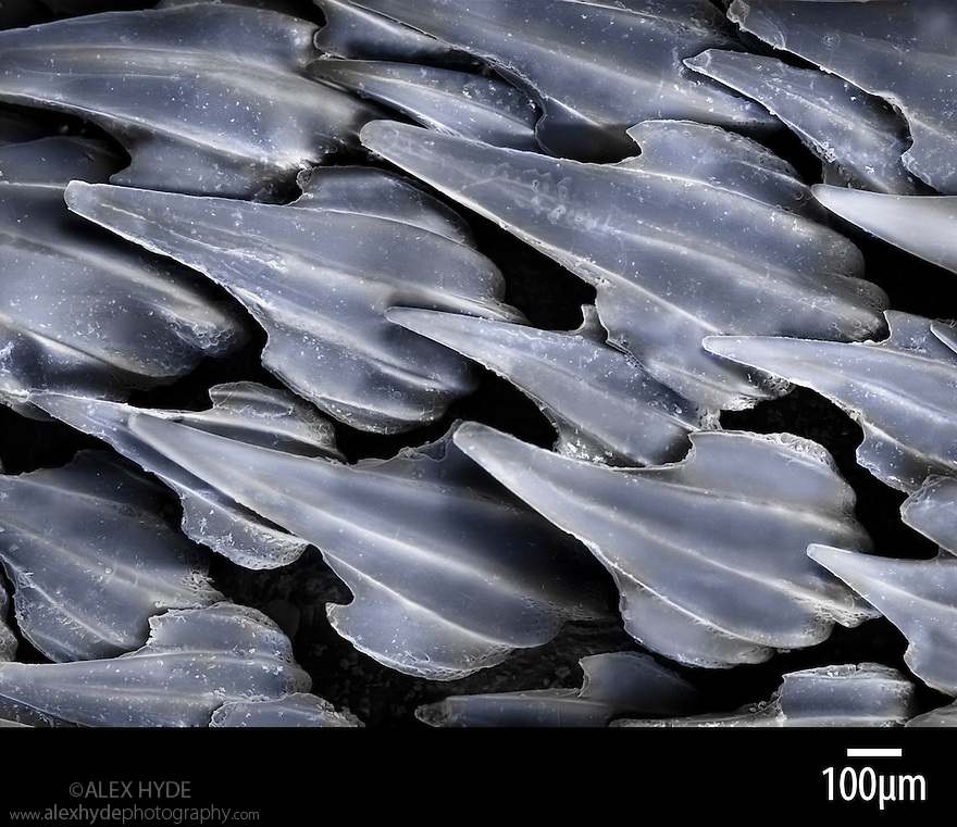 Dermal denticles on a Dogfish shark {Scyliorhinus sp}. These tooth-like structures on the skin of sharks and rays afford protection from predators and ectoparasites. They are also speculated to reduce drag whilst swimming. False-colour scanning electron micrograph (SEM) x56 magnification when image printed 10cm across.