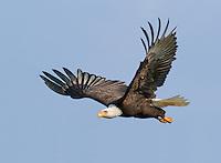 Adult Bald eagle in flight against a blue sky.<br /> Skagit Flats near Mount Vernon, Washington<br /> 2?15/2010