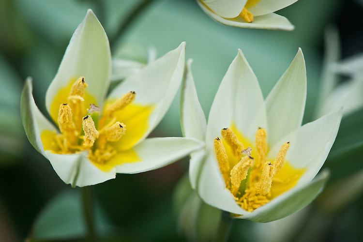 Tulipa binutans, glasshouse, late March. A species tulip with creamy white flowers that have a yellow basal blotch. From the foothills of the Tien Shan mountain ranges in the border region of Kazakhstan, Kyrgyzstan and the Xinjiang Uyghur Autonomous Region of western China.