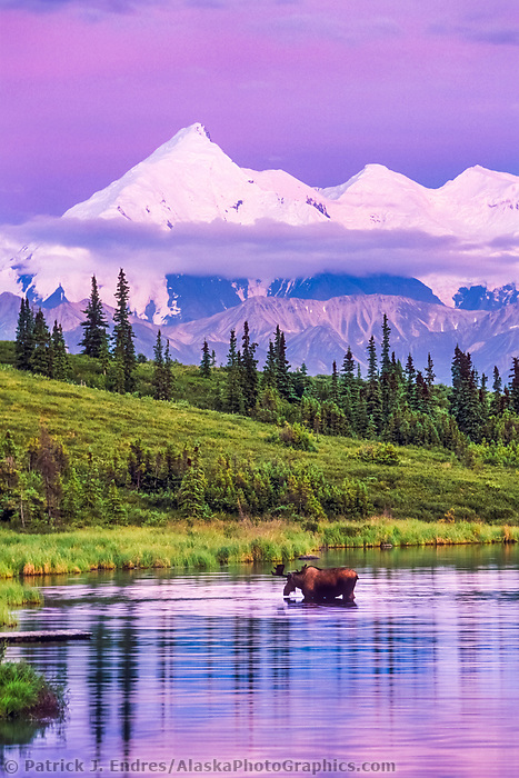 Bull moose feeds on vegetation in Wonder Lake, Mt Brooks of the Alaska range in the distance, Denali National Park, Alaska