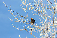 Winter photos bald eagle perched in frost covered willow tree  Anchorage, Alaska<br /> <br /> Photo by Jeff Schultz/SchultzPhoto.com  (C) 2016  ALL RIGHTS RESVERVED