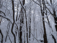 Trees in winter covered in snow.