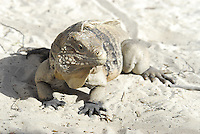 Black-footed Iguana of Little Cayman Island is critically threatened by habitat loss and pets. Little Cayman has about 1,500 animals remaining.