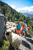 Walking with sheep on the trail above Zermatt while on the Via Valais, a multi-day trail running tour connecting Verbier with Zermatt, Switzerland.