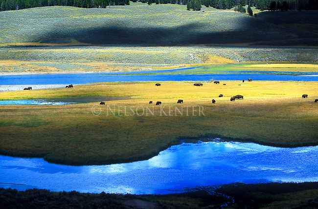 A herd of bison feeds on an island in the Hayden Valley of Yellowstone National Park