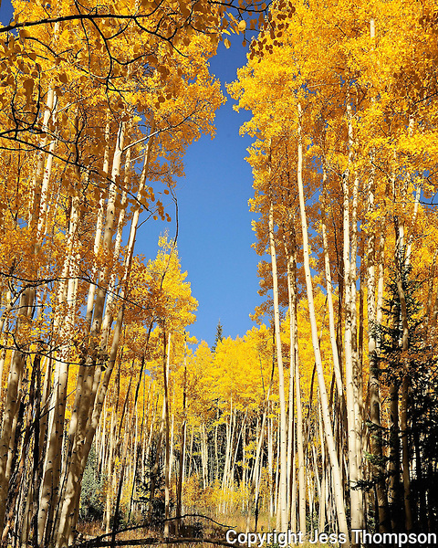 Aspens in the Fall in Colorado