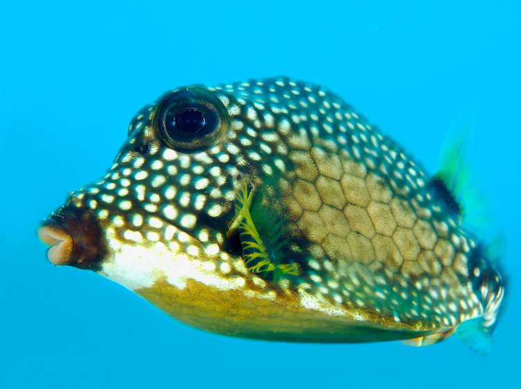 Smooth trunkfish, (Lactophrys triqueter), side view showing motion blur, and bright cyan background, St Vincent