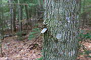 Metal tag on hardwood tree from some kind of research / survey project along the old Osseo Trail in Lincoln, New Hampshire. Cut in the early 1900s, this portion of the Osseo Trail began near the East Branch & Lincoln Railroad's logging Camp 3. It traveled up through the Clear Brook drainage to Osseo Peak and Mount Flume. During the early years of the trail, it was part of the Franconia Ridge Trail. In the 1980s when the Clearbrook Condominium development was built this portion of the Osseo Trail was abandoned and rerouted to its current location.