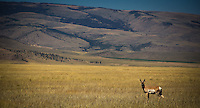 So Montana!  Pronghorn Antelope